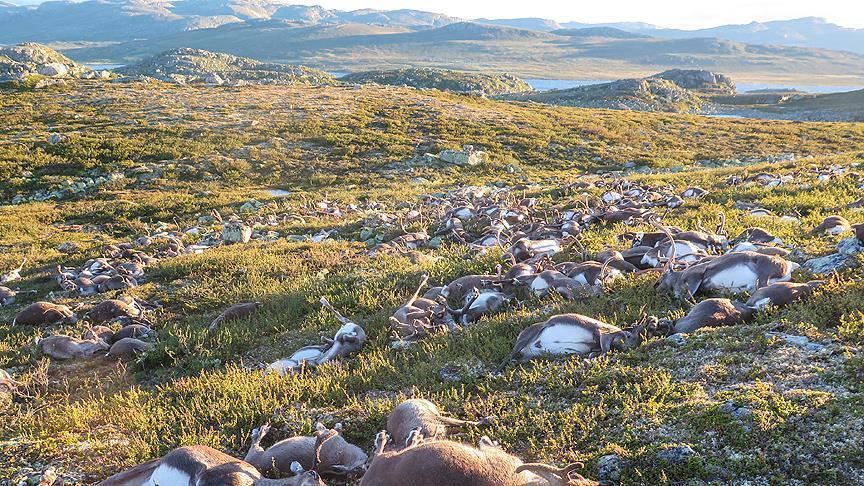 صاعقة رعدية تقتل أكثر من 300 حيوان من فصيلة الرنة وسط النرويج