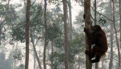 """يقدر عددها بالعالم 104آلاف.. العثور على """"إنسان غاب"""" نفق طعنا في إندونيسيا"""