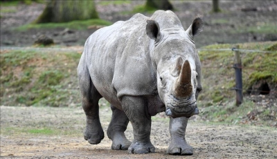 نفوق آخر ذكر من وحيد القرن الأبيض الشمالي في العالم
