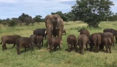 """شاهد - """"فيل مدخّن"""" يثير جدلا ويحيّر العلماء في الهند"""