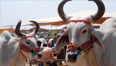 ضرب مسلم حتى الموت بتهمة تهريب الأبقار في الهند