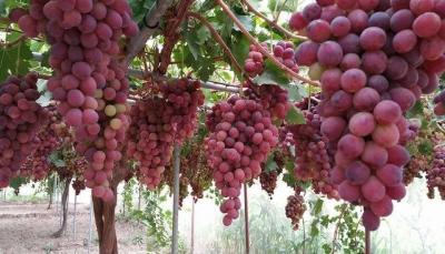 صنعاء.. كساد في سوق الفاكهة والمواطنون عاجزون عن شرائها (تقرير خاص)