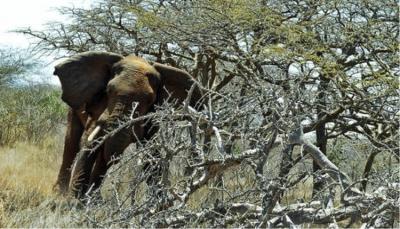 رجل حاول تنويم فيل فسحقه برجليه (فيديو)