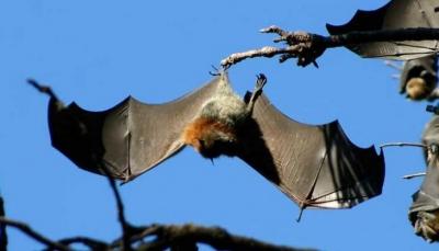 في هذه المدينة.. خفافيش مسعورة ترعب السكان وتهاجمهم في الشوارع