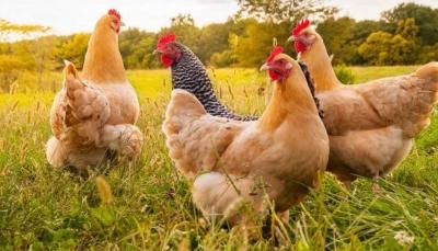 في حادث غريب.. تعرف كيف اجتمعت دجاجات على قتل ثعلب؟