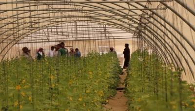 """حصاد أول كمية من """"الخيار"""" المزروع في البيوت المحمية بمحافظة المهرة"""