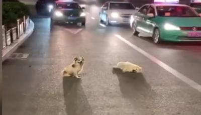 كلب ينتظر ساعات لإنقاذ صديقة بعدما دهسته سيارة (فيديو)