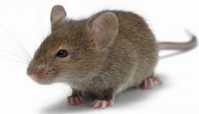 فأر يثير الذعر في البيت الأبيض