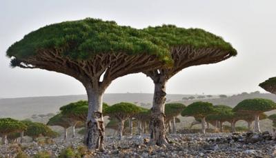 """مصور أمريكي غامر بزيارة سقطرى يتحدث عن انطباعه حول شجرة """"دم الأخوين"""" التي تسرقها الإمارات (ترجمة خاصة)"""
