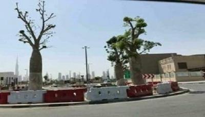 """موقع بريطاني: الإمارات تسرق أشجار """"دم الأخوين"""" من سقطرى وتنشرها في أبو ظبي"""
