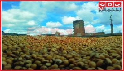 بعيداً عن الإغاثة المُذلة.. مزارعون مبتهجون بحصادهم من الحبوب لتأمين غذائهم (تقرير خاص)