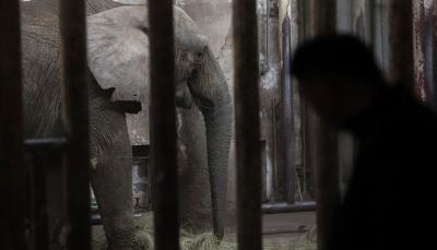 فيل يدهس مدربه حتى الموت (فيديو)
