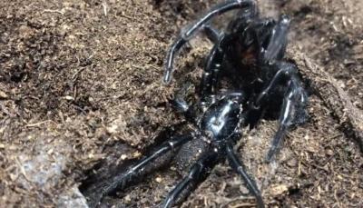 عناكب قاتلة تهدد أستراليا بسبب الظروف المناخية الحارة (فيديو)