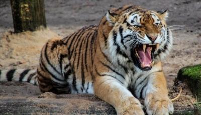 شاهد - هندي ينجو من افتراس نمر متصنعا انه ميت