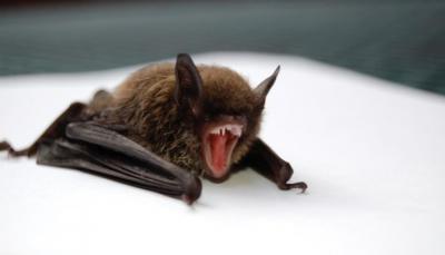 الصحة العالمية تحسم جدل نشأة كورونا وعلاقته بالخفافيش