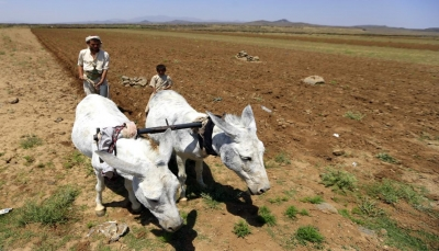 بسبب الحرب وأزمات الوقود.. زراعة الحبوب في اليمن تخسر نصف الإنتاج