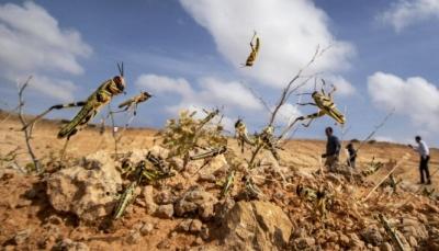 الفاو: الجراد الصحراوي يهدد سبل العيش للملايين في اليمن