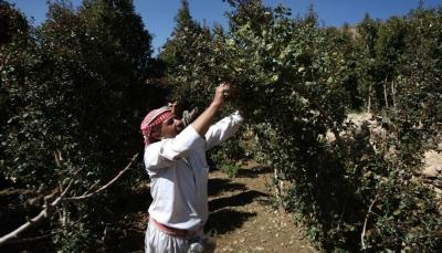 زراعة القات في اليمن.. كيف باتت تهدّد محاصيل البقوليات؟