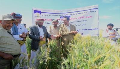مأرب.. البحوث الزراعية تنشر صنف جديد من بذور القمح