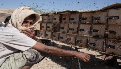 """""""ذهب اليمن السائل"""".. الغارديان تكتب: نحالو اليمن يتحدون الحرب لإنتاج أفضل أنواع العسل (ترجمة)"""