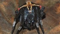 في مشهد مخيف.. عناكب سوداء تغزو البرازيل (فيديو)